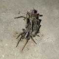 Photos: 生き物の残骸?を背にしていた蜘蛛 - 1