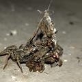 Photos: 生き物の残骸?を背にしていた蜘蛛 - 7