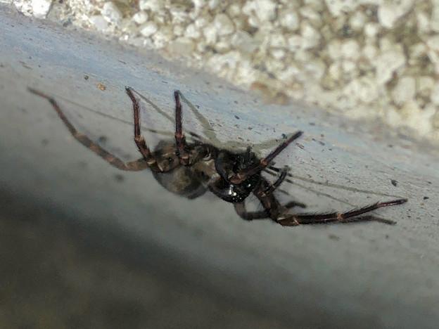 Photos: 壁にいた黒い蜘蛛 - 4