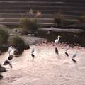 Photos: 内津川に集まってたシラサギ - 3