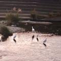 Photos: 内津川に集まってたシラサギ - 2
