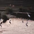 Photos: 内津川に集まってたシラサギ - 1