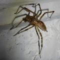 Photos: 白い壁にいた茶色い蜘蛛 - 1