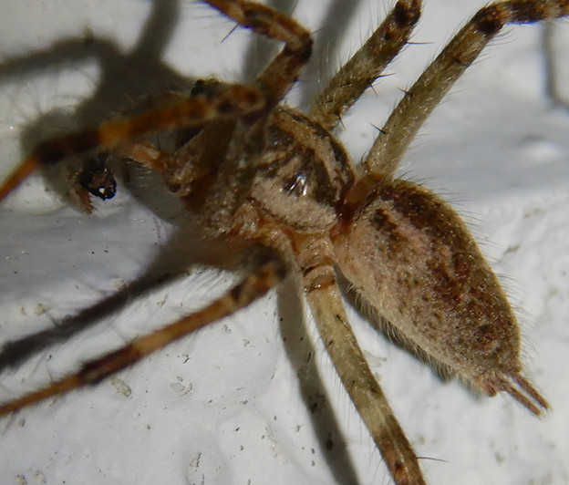 Photos: 白い壁にいた茶色い蜘蛛 - 2