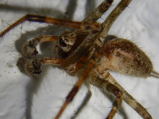 Photos: 白い壁にいた茶色い蜘蛛 - 3