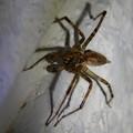 Photos: 白い壁にいた茶色い蜘蛛 - 5