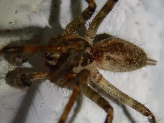 Photos: 白い壁にいた茶色い蜘蛛 - 6