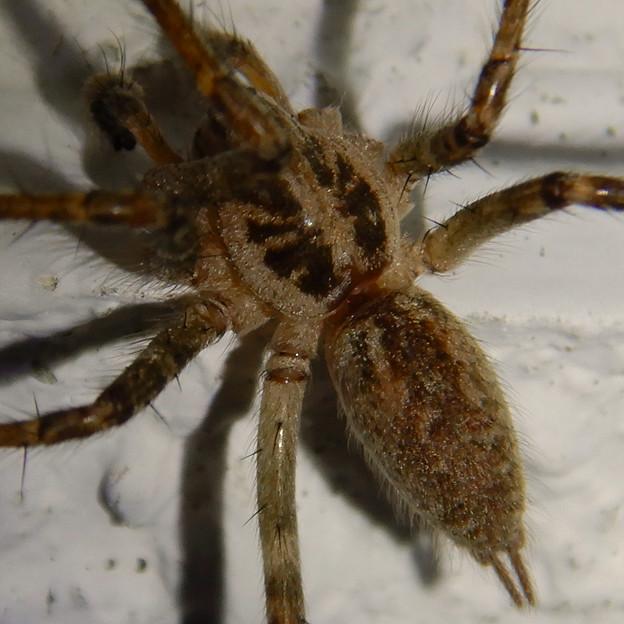 白い壁にいた茶色い蜘蛛 - 7