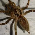 Photos: 白い壁にいた茶色い蜘蛛 - 7