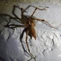 Photos: 白い壁にいた茶色い蜘蛛 - 10