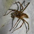 Photos: 白い壁にいた茶色い蜘蛛 - 4