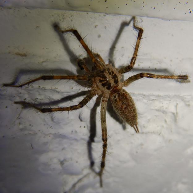 Photos: 白い壁にいた茶色い蜘蛛 - 8