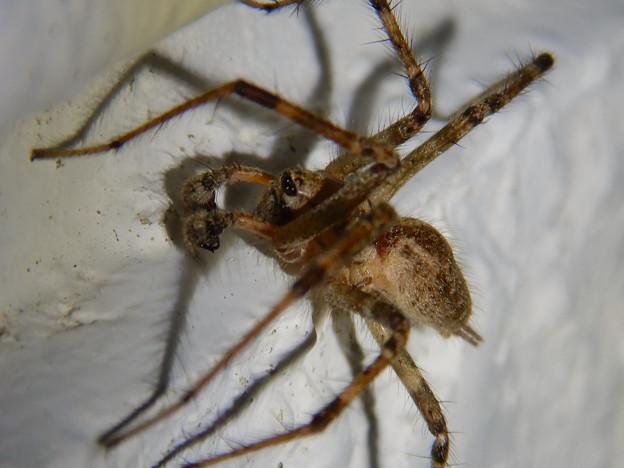 白い壁にいた茶色い蜘蛛 - 11
