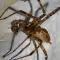 Photos: 白い壁にいた茶色い蜘蛛 - 11