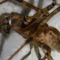 Photos: 白い壁にいた茶色い蜘蛛 - 12