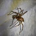 Photos: 白い壁にいた茶色い蜘蛛 - 13