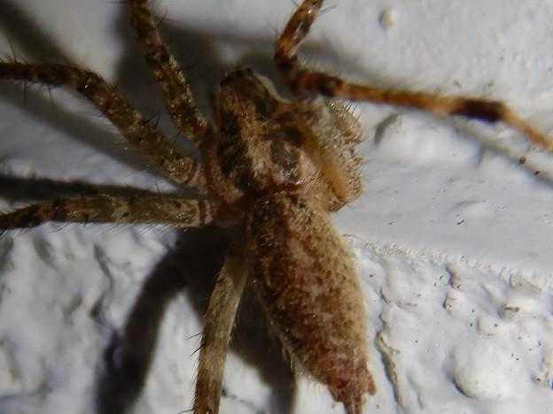 Photos: 白い壁にいた茶色い蜘蛛 - 9
