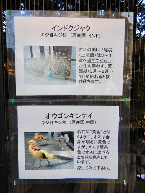 グリーンピア春日井 動物ふれあい広場で飼育されてる動物 - 2:インドクジャク、オウゴンキンケイ