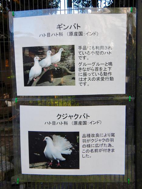 グリーンピア春日井 動物ふれあい広場で飼育されてる動物 - 3:ギンバト、クジャクバト