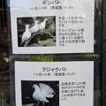 Photos: グリーンピア春日井 動物ふれあい広場で飼育されてる動物 - 3:ギンバト、クジャクバト