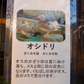 グリーンピア春日井 動物ふれあい広場で飼育されてる動物 - 5:オシドリ
