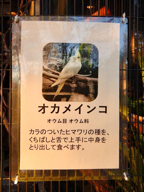グリーンピア春日井 動物ふれあい広場で飼育されてる動物 - 6:オカメインコ