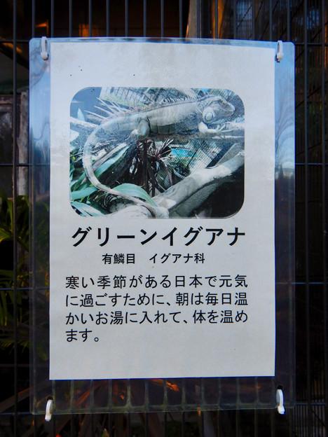 グリーンピア春日井 動物ふれあい広場で飼育されてる動物 - 7:グリーンイグアナ