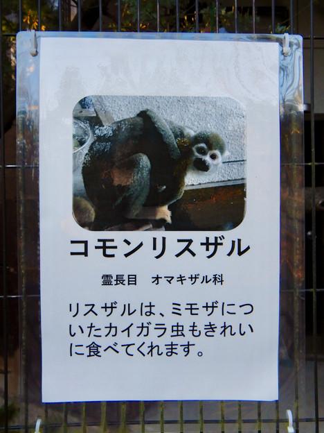 グリーンピア春日井 動物ふれあい広場で飼育されてる動物 - 8:コモンリスザル