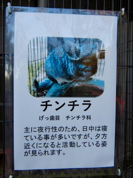グリーンピア春日井 動物ふれあい広場で飼育されてる動物 - 9:チンチラ