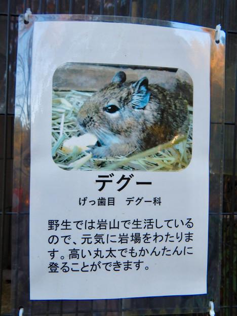グリーンピア春日井 動物ふれあい広場で飼育されてる動物 - 10:デグー