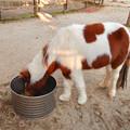 グリーンピア春日井 動物ふれあい広場の動物 - 6:食事中のポニー