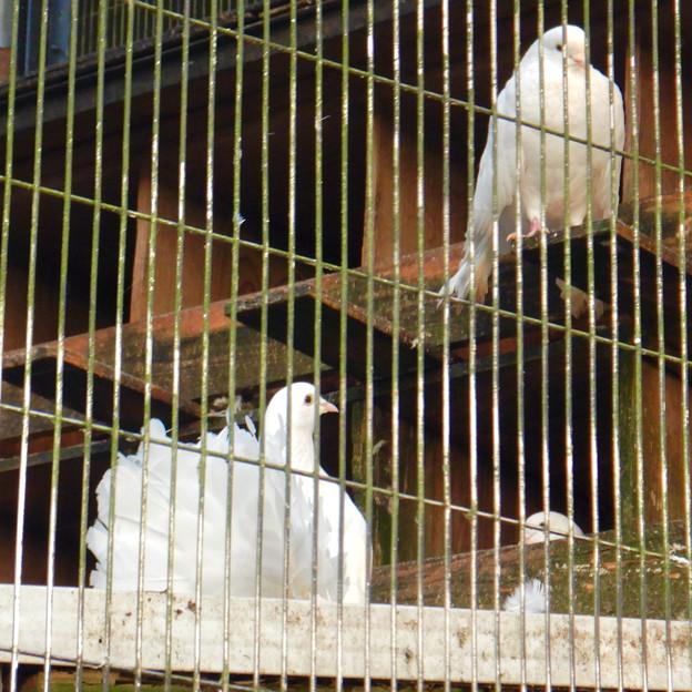 グリーンピア春日井 動物ふれあい広場の動物 - 7:クジャクバト