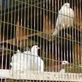 Photos: グリーンピア春日井 動物ふれあい広場の動物 - 7:クジャクバト