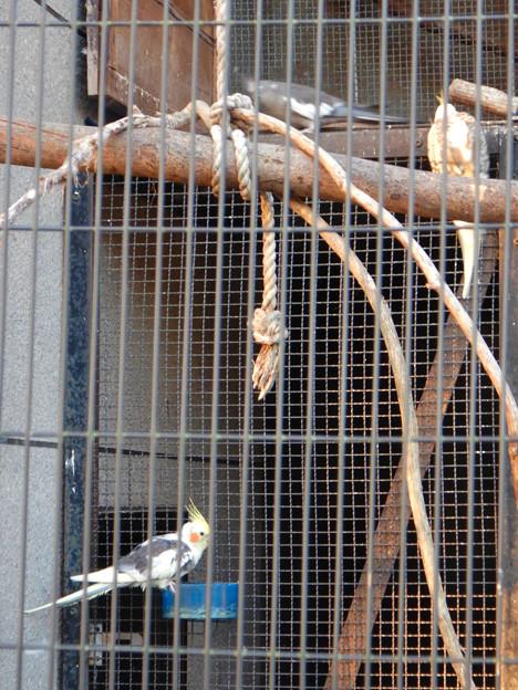 グリーンピア春日井 動物ふれあい広場の動物 - 8:オカメインコ