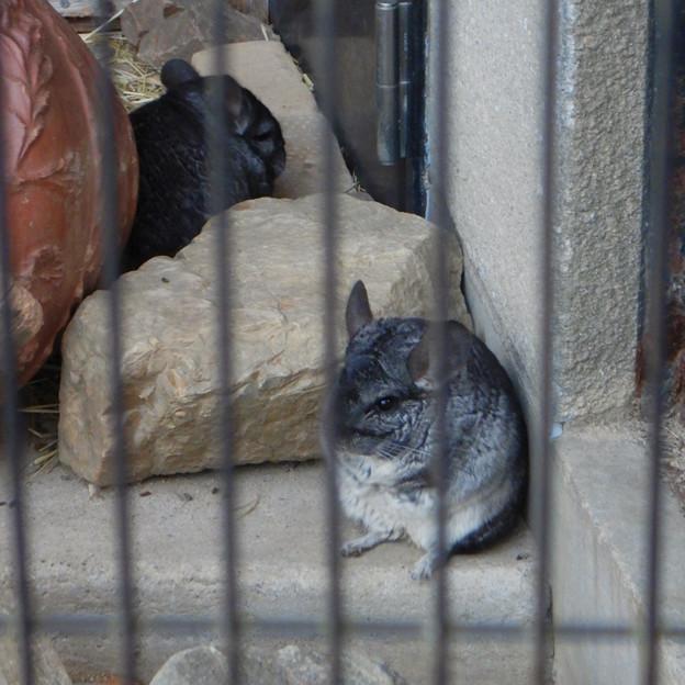 グリーンピア春日井 動物ふれあい広場の動物 - 10:チンチラ