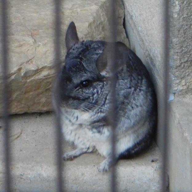 グリーンピア春日井 動物ふれあい広場の動物 - 11:チンチラ