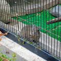グリーンピア春日井 動物ふれあい広場の動物 - 14:デグー