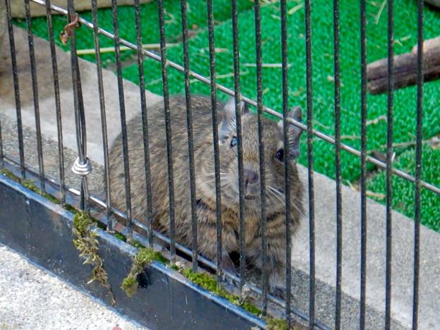 グリーンピア春日井 動物ふれあい広場の動物 - 15:デグー