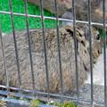 グリーンピア春日井 動物ふれあい広場の動物 - 16:デグー