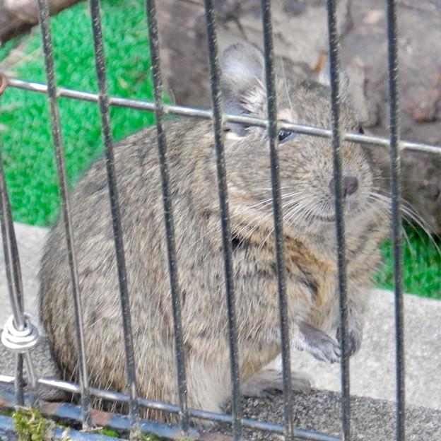 グリーンピア春日井 動物ふれあい広場の動物 - 18:デグー