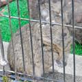Photos: グリーンピア春日井 動物ふれあい広場の動物 - 18:デグー
