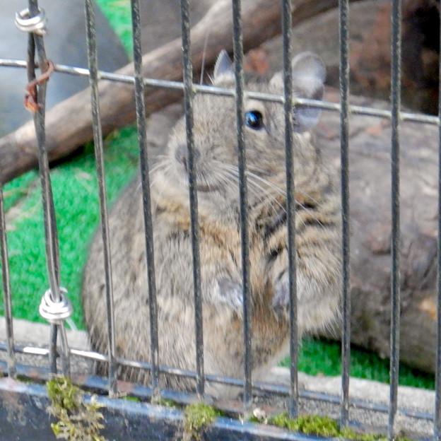 グリーンピア春日井 動物ふれあい広場の動物 - 19:デグー