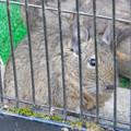Photos: グリーンピア春日井 動物ふれあい広場の動物 - 22:デグー