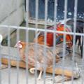 Photos: グリーンピア春日井 動物ふれあい広場の動物 - 24:東天紅鶏(トウテンコウ)