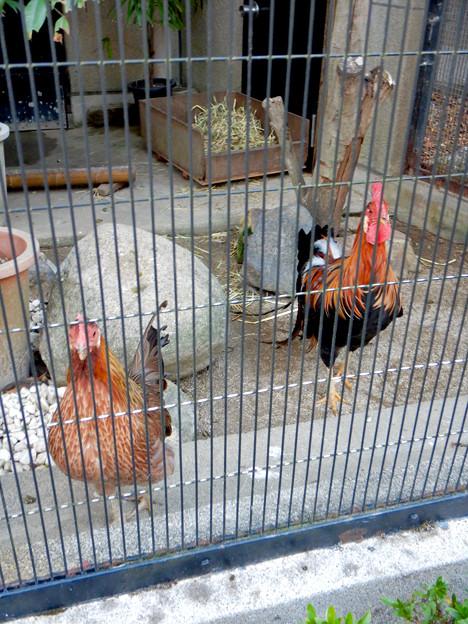 Photos: グリーンピア春日井 動物ふれあい広場の動物 - 25:東天紅鶏(トウテンコウ)