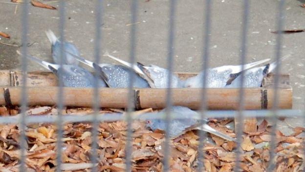 グリーンピア春日井 動物ふれあい広場の動物 - 29:ウスユキバト