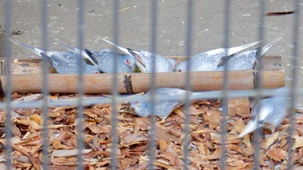 グリーンピア春日井 動物ふれあい広場の動物 - 30:ウスユキバト