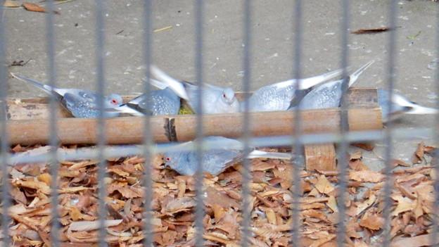 グリーンピア春日井 動物ふれあい広場の動物 - 31:ウスユキバト