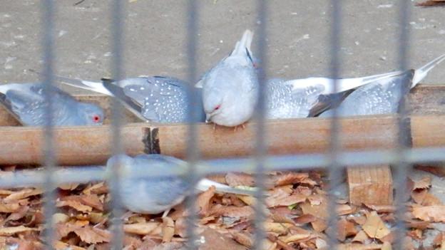 グリーンピア春日井 動物ふれあい広場の動物 - 32:ウスユキバト