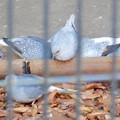 Photos: グリーンピア春日井 動物ふれあい広場の動物 - 32:ウスユキバト